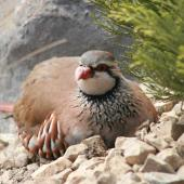 Red-legged partridge. Adult roosting on rough ground. South Canterbury, October 2009. Image © Steve Attwood by Steve Attwood http://www.flickr.com/photos/stevex2/