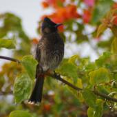 Red-vented bulbul. Adult perched. Tonga airport, August 2007. Image © Ingrid Hutzler by Ingrid Hutzler