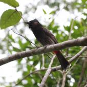 Red-vented bulbul. Adult perched. Fiji, October 2013. Image © Craig Steed by Craig Steed