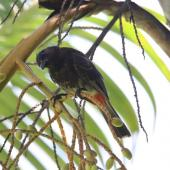 Red-vented bulbul. Adult. Denerau Island, Fiji, March 2020. Image © Shelley Trotter by Shelley Trotter