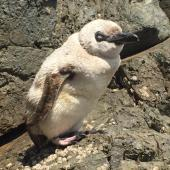 Little penguin. Leucistic adult at the start of moult. Mimiwhangata, Northland, January 2020. Image © Glen Molloy by Glen Molloy