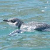Little penguin. White-flippered adult swimming. Akaroa  Harbour, December 2012. Image © Philip Griffin by Philip Griffin