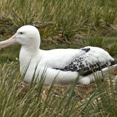 Wandering albatross. Adult on nest. Prion Island,  South Georgia, January 2016. Image © Rebecca Bowater  by Rebecca Bowater FPSNZ AFIAP www.floraandfauna.co.nz