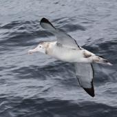 Wandering albatross. Immature in flight, ventral view. 4 miles off Cape Horn, December 2015. Image © Cyril Vathelet by Cyril Vathelet
