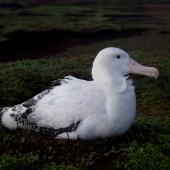 Wandering albatross. Adult male incubating. Cap Cotter, Iles Kerguelen, December 2015. Image © Colin Miskelly by Colin Miskelly