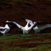 Wandering albatross. Gam display. Cap Cotter, Iles Kerguelen, December 2015. Image © Colin Miskelly by Colin Miskelly