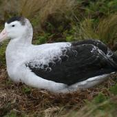 Antipodean albatross. Adult male on nest. Antipodes Island, January 2008. Image © David Boyle by David Boyle
