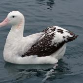 Antipodean albatross. Adult Gibson's subspecies on water. Kaikoura pelagic, October 2008. Image © Duncan Watson by Duncan Watson