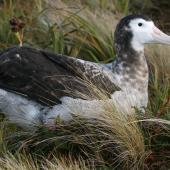 Antipodean albatross. Dark male, presumably still immature. Antipodes Island, February 2008. Image © David Boyle by David Boyle