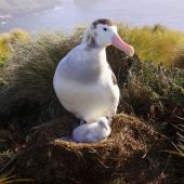 Antipodean albatross. Adult male on nest with young chick. Antipodes Island, April 2009. Image © Mark Fraser by Mark Fraser