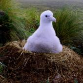 Antipodean albatross. Chick on nest, post guard stage. Antipodes Island, April 2010. Image © Mark Fraser by Mark Fraser