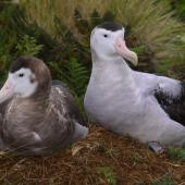 Antipodean albatross. Adult female on nest incubating an egg (left) with adult male (right) beside nest. Antipodes Island, February 2009. Image © Mark Fraser by Mark Fraser