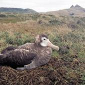 Antipodean albatross. Adult female on nest. Kawhaki, Chatham Island, April 2003. Image © Colin Miskelly by Colin Miskelly