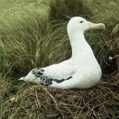Antipodean albatross. Adult male Gibson's subspecies on nest. Adams Island, Auckland Islands, February 1966. Image © Department of Conservation (image ref: 10038466) by John Kendrick Courtesy of Department of Conservation
