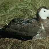 Antipodean albatross. Adult female on nest . Mowbray Hill, Campbell Island, February 1963. Image © Department of Conservation ( image ref: 10031620 ) by Alan Wright Courtesy of Department of Conservation