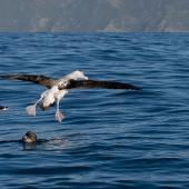 Antipodean albatross. Adult landing showing upper surface markings. Kaikoura pelagic, November 2006. Image © Neil Fitzgerald by Neil Fitzgerald www.neilfitzgeraldphoto.co.nz
