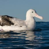 Antipodean albatross. Adult Gibson's subspecies on water. Kaikoura pelagic, November 2006. Image © Neil Fitzgerald by Neil Fitzgerald www.neilfitzgeraldphoto.co.nz
