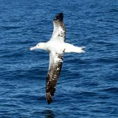 Antipodean albatross. Adult Gibson's albatross in flight. Cook Strait, August 2017. Image © Alan Tennyson by Alan Tennyson