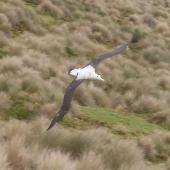 Antipodean albatross. Gibson's albatross in flight. Disappointment Island,  Auckland Islands, January 2018. Image © Alan Tennyson by Alan Tennyson