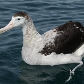 Antipodean albatross. Adult Gibson's subspecies c.12-years-old. Kaikoura pelagic, December 2012. Image © Sharon Gamble by Sharon Gamble