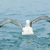 Antipodean albatross. Adult showing underwings. Off Kaikoura, June 2008. Image © Alan Tennyson by Alan Tennyson