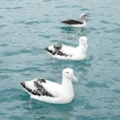 Antipodean albatross. Adults on water with Buller's mollymawk (behind). Off Kaikoura, June 2008. Image © Alan Tennyson by Alan Tennyson