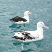Antipodean albatross. Adult with black-browed mollymawk. Off Kaikoura, June 2008. Image © Alan Tennyson by Alan Tennyson
