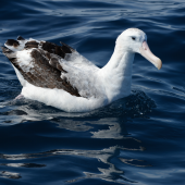 Antipodean albatross. Adult on water. Whangaroa pelagic, December 2013. Image © Les Feasey by Les Feasey