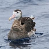 Antipodean albatross. Front view of adult female on water. At sea off Whangaroa Harbour, November 2012. Image © Jenny Atkins by Jenny Atkins www.jennifer-m-pics.ifp3.com