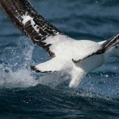 Antipodean albatross. Adult taking off showing upper surface. At sea off Whangaroa, Northland, November 2012. Image © Jenny Atkins by Jenny Atkins www.jennifer-m-pics.ifp3.com