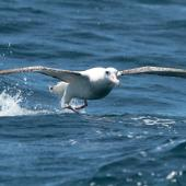 Antipodean albatross. Adult male Gibson's subspecies showing leading edges. At sea off Whangaroa Harbour, Northland, November 2012. Image © Jenny Atkins by Jenny Atkins www.jennifer-m-pics.ifp3.com