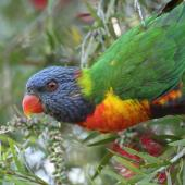 Rainbow lorikeet. Adult. Sherwood Arboretum, Brisbane, Queensland, September 2015. Image © Glenn Pure 2015 birdlifephotography.org.au by Glenn Pure