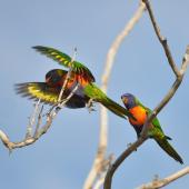 Rainbow lorikeet. A pair in a tree above school grounds. Quinns Rocks,  Western Australia, July 2015. Image © Marie-Louise Myburgh by Marie-Louise Myburgh