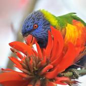 Rainbow lorikeet. Adult feeding on coral tree nectar. Quinns Rocks,  Western Australia, July 2015. Image © Marie-Louise Myburgh by Marie-Louise Myburgh