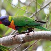 Rainbow lorikeet. Adult sitting on a branch. Perth, April 2014. Image © Duncan Watson by Duncan Watson