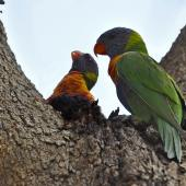 Rainbow lorikeet. A pair, high up in a tree. Neil Hawkins Park, Joondalup, Perth, Western Australia, October 2014. Image © Marie-Louise Myburgh by Marie-Louise Myburgh