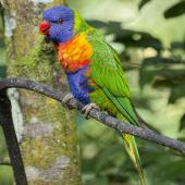Rainbow lorikeet. Adult perched. Atherton Tableland,  Queensland,  Australia, July 2017. Image © Rebecca Bowater by Rebecca Bowater FPSNZ AFIAP www.floraandfauna.co.nz
