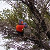 Rainbow lorikeet. Two adults (bird on right suffering from feather-plucking disorder). Parekura Bay, Northland, November 2015. Image © Louise Dews by Louise Dews
