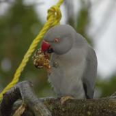 Rose-ringed parakeet. Escaped adult female, grey morph. Mapua, July 2014. Image © Amber Calman by Amber Calman