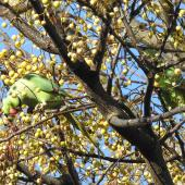 Rose-ringed parakeet. Two adults. Point Chevalier, Auckland, June 2021. Image © Hayden Pye by Hayden Pye