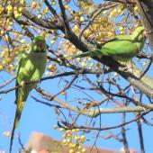 Rose-ringed parakeet. Two adults. Point Chevalier, June 2021. Image © Hayden Pye by Hayden Pye