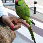 Rose-ringed parakeet. Pet male. Amsterdam, The Netherlands, May 2014. Image © Joke baars by Joke Baars