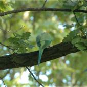 Rose-ringed parakeet. Adult, dorsal view. Nieuwersluis, Netherlands, October 2007. Image © Sarah Jamieson by Sarah Jamieson