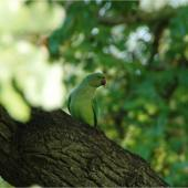 Rose-ringed parakeet. Adult female. Nieuwersluis, Netherlands, October 2007. Image © Sarah Jamieson by Sarah Jamieson