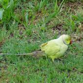 Rose-ringed parakeet. Adult feeding on ground. Manukau Harbour, December 2015. Image © Jacqui Geux by Jacqui Geux