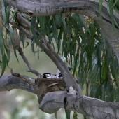 Magpie-lark. Male on nest. Melbourne. Image © Sonja Ross by Sonja Ross