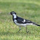 Magpie-lark. Adult male holding an insect. Neil Hawkins Park,  Joondalup, Western Australia, September 2015. Image © Marie-Louise Myburgh by Marie-Louise Myburgh