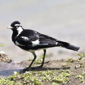 Magpie-lark. Adult male. Port Douglas,  Queensland,  Australia, August 2015. Image © Rebecca Bowater by Rebecca Bowater FPSNZ AFIAP www.floraandfauna.co.nz