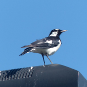 Magpie-lark. Adult male. Olympic Park, New South Wales, Australia, October 2014. Image © Alan Tennyson by Alan Tennyson
