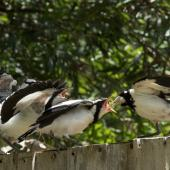 Magpie-lark. Young birds being fed by adult female. Melbourne, January 2017. Image © Sonja Ross by Sonja Ross